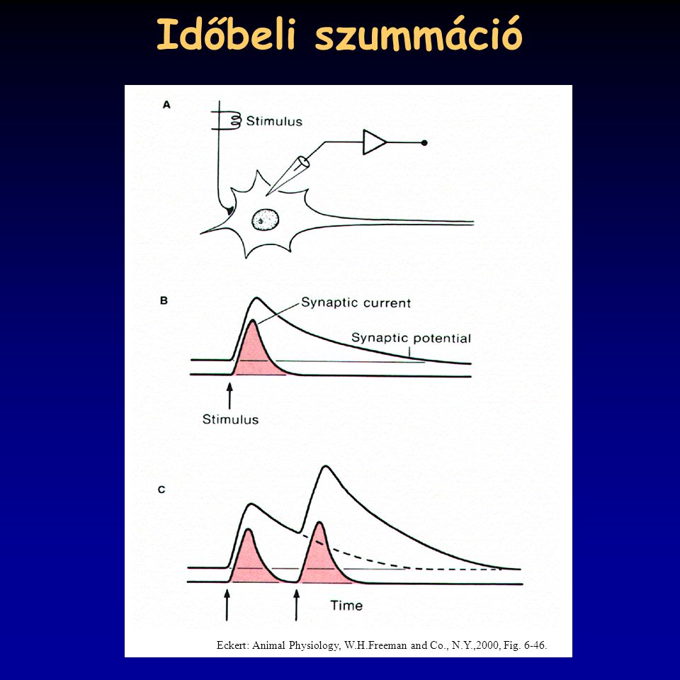 Időbeli szummáció Eckert: Animal Physiology, W.H.Freeman and Co., N.Y.,2000, Fig. 6-46.