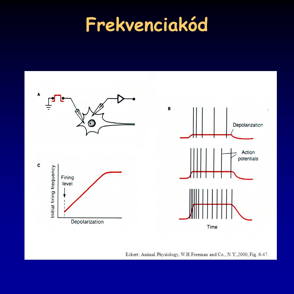 Frekvenciakód Eckert: Animal Physiology, W.H.Freeman and Co., N.Y.,2000, Fig. 6-47.