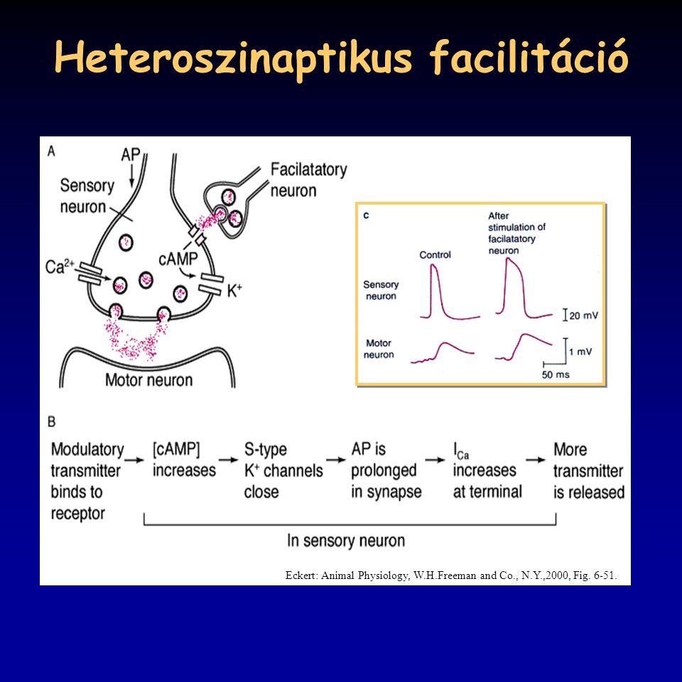 Heteroszinaptikus facilitáció