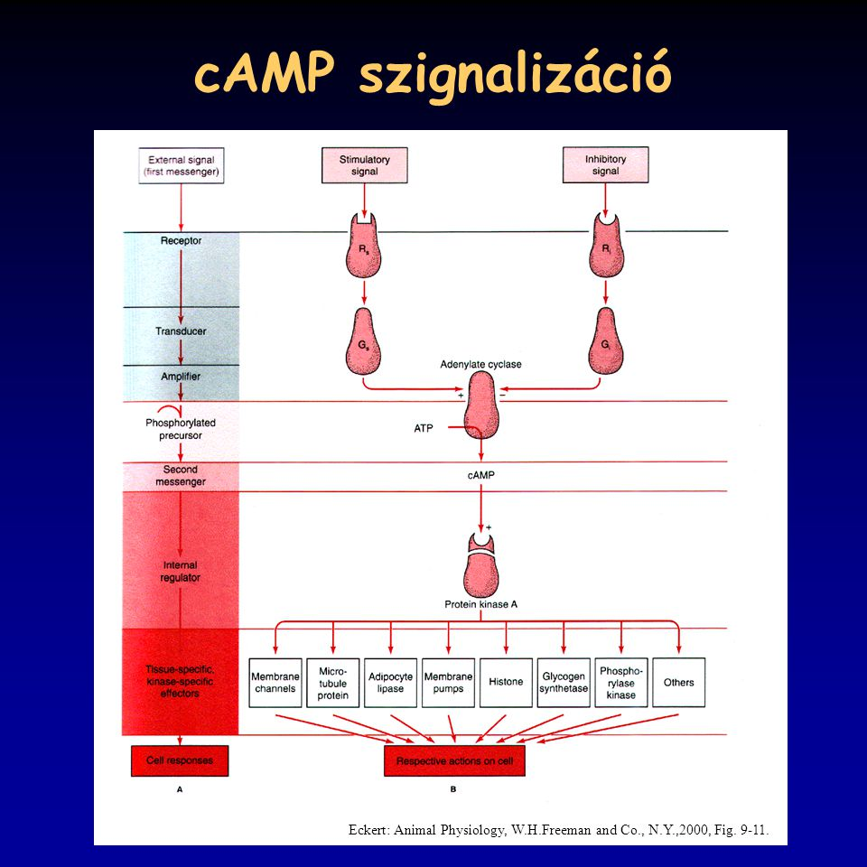 cAMP szignalizáció Eckert: Animal Physiology, W.H.Freeman and Co., N.Y.,2000, Fig. 9-11.