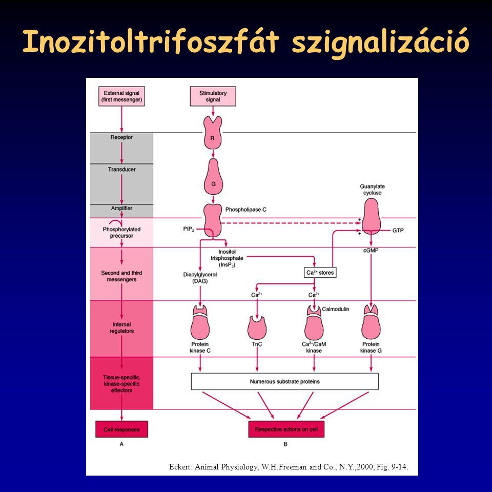 Inozitoltrifoszfát szignalizáció