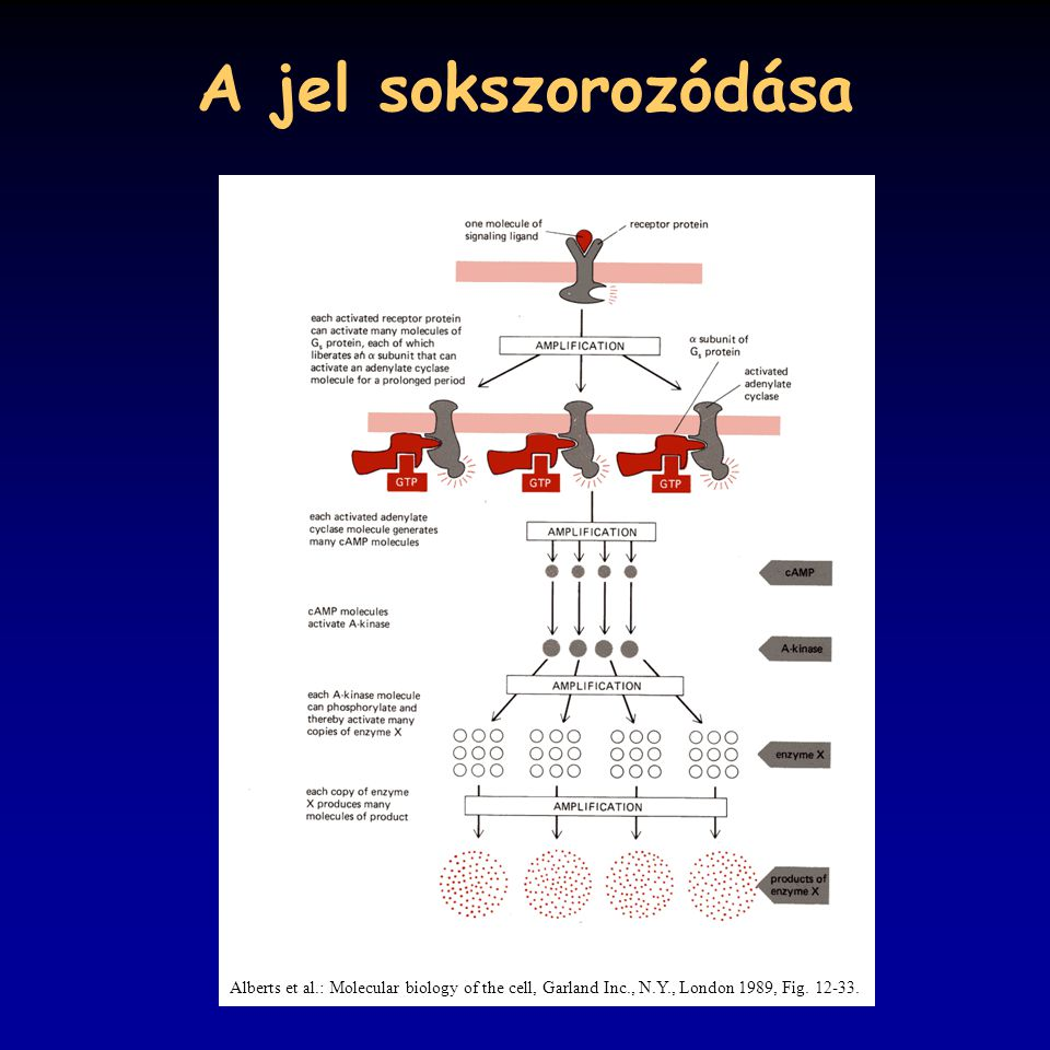 A jel sokszorozódása Alberts et al.: Molecular biology of the cell, Garland Inc., N.Y., London 1989, Fig.