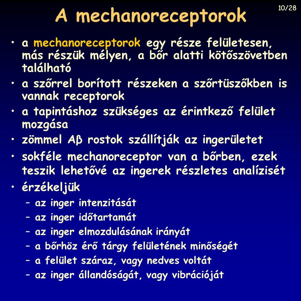 A mechanoreceptorok 10/28. a mechanoreceptorok egy része felületesen, más részük mélyen, a bőr alatti kötőszövetben található.
