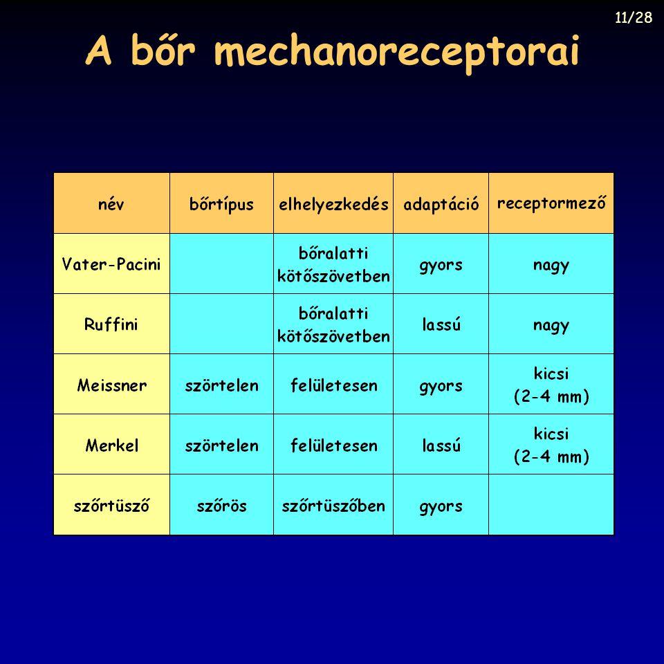 A bőr mechanoreceptorai