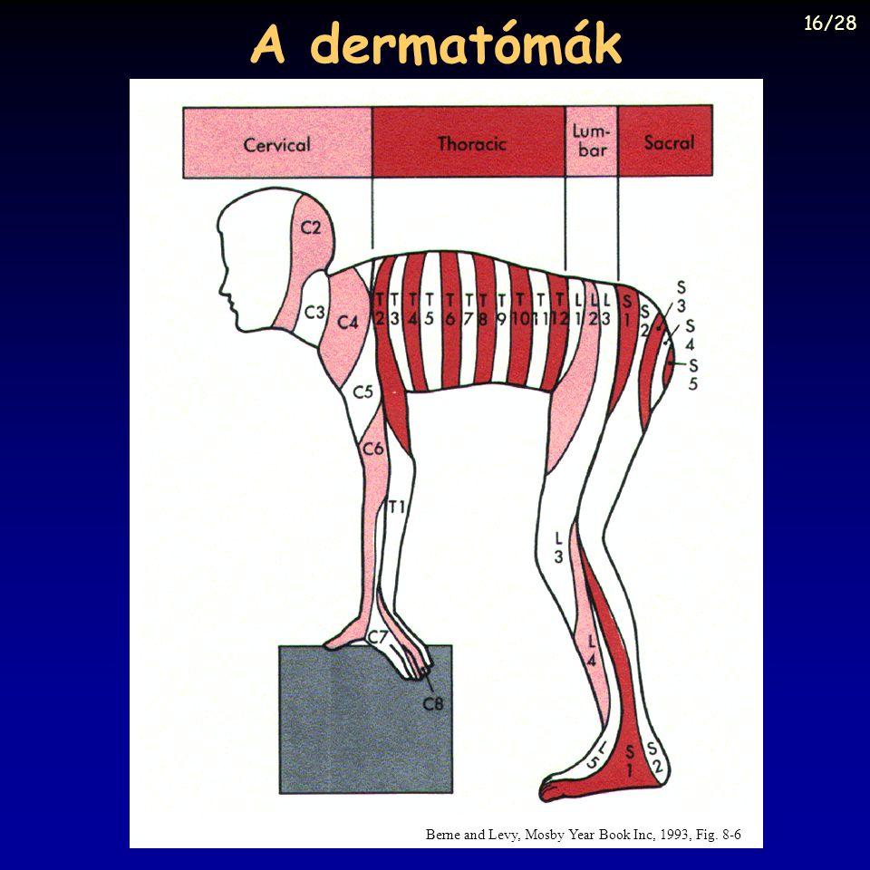 A dermatómák 16/28 Berne and Levy, Mosby Year Book Inc, 1993, Fig. 8-6