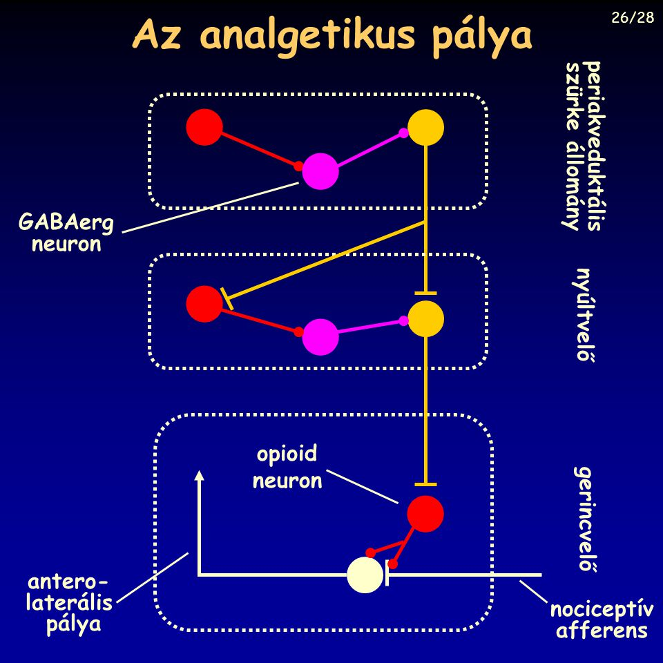 periakveduktális szürke állomány antero- laterális pálya