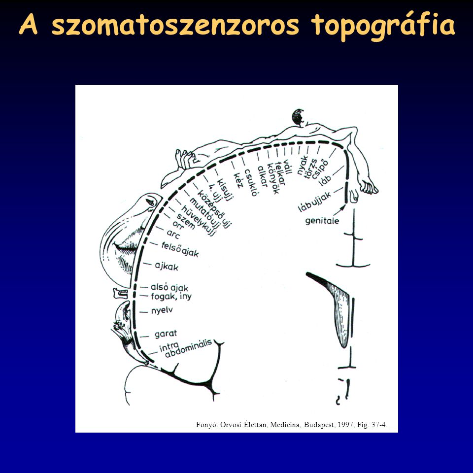 A szomatoszenzoros topográfia
