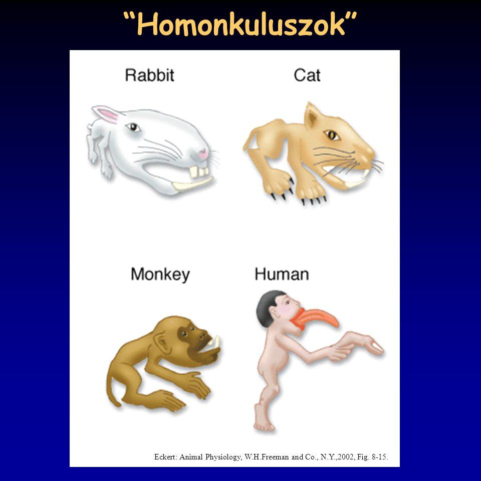 Homonkuluszok Eckert: Animal Physiology, W.H.Freeman and Co., N.Y.,2002, Fig. 8-15.
