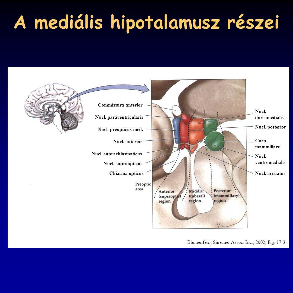 A mediális hipotalamusz részei
