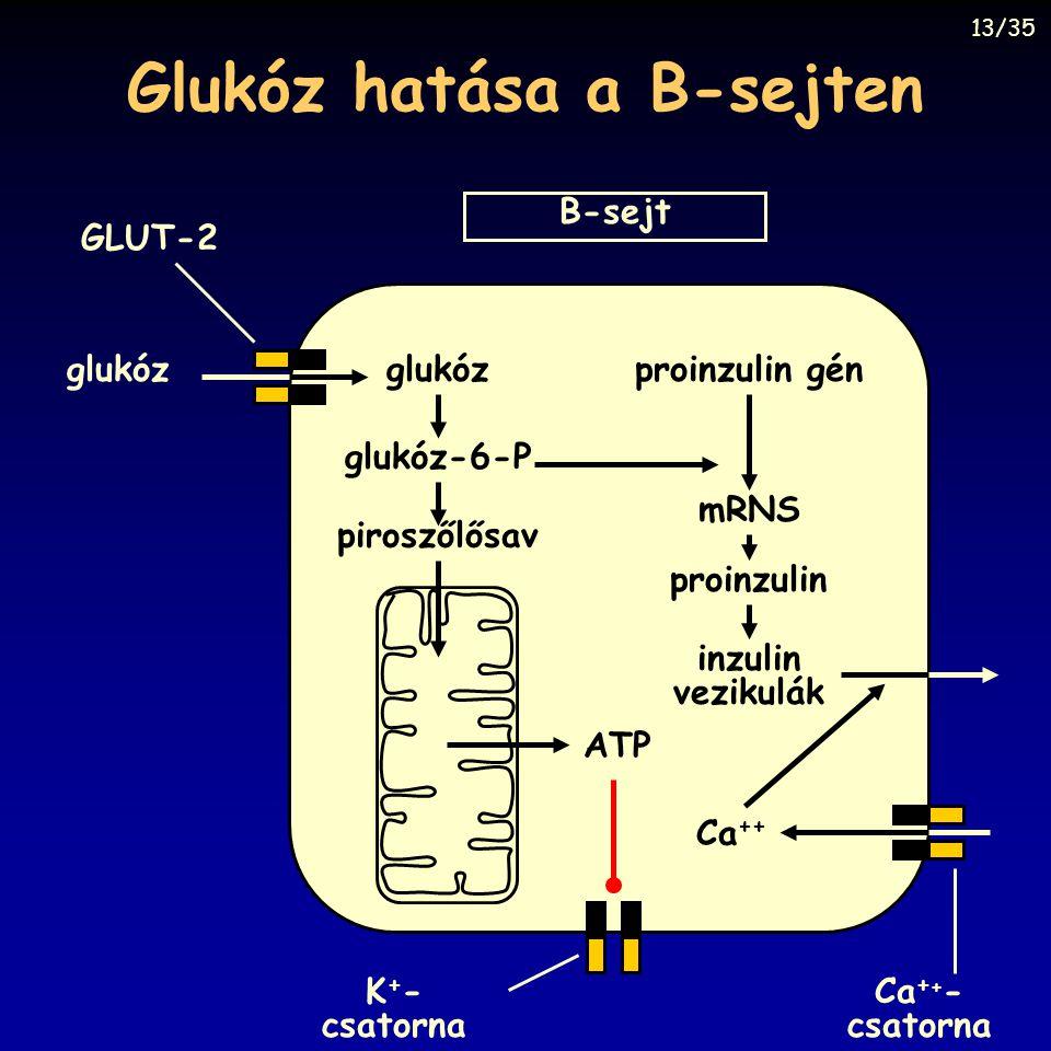 Glukóz hatása a B-sejten