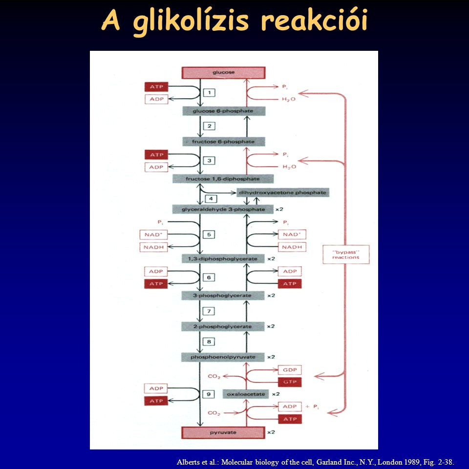 A glikolízis reakciói Alberts et al.: Molecular biology of the cell, Garland Inc., N.Y., London 1989, Fig.
