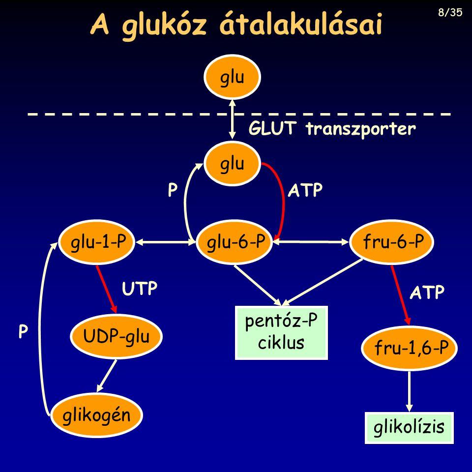 A glukóz átalakulásai glu GLUT transzporter glu P ATP glu-1-P glu-6-P