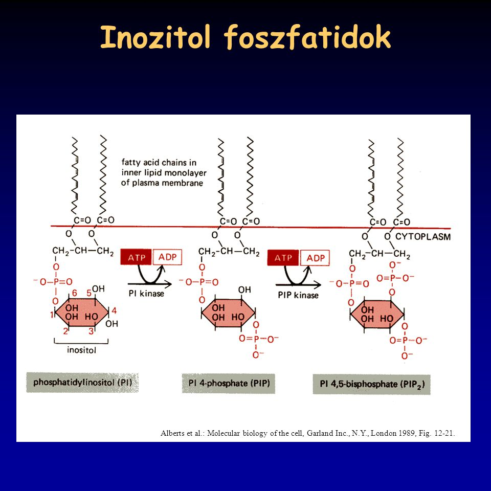 Inozitol foszfatidok Alberts et al.: Molecular biology of the cell, Garland Inc., N.Y., London 1989, Fig.