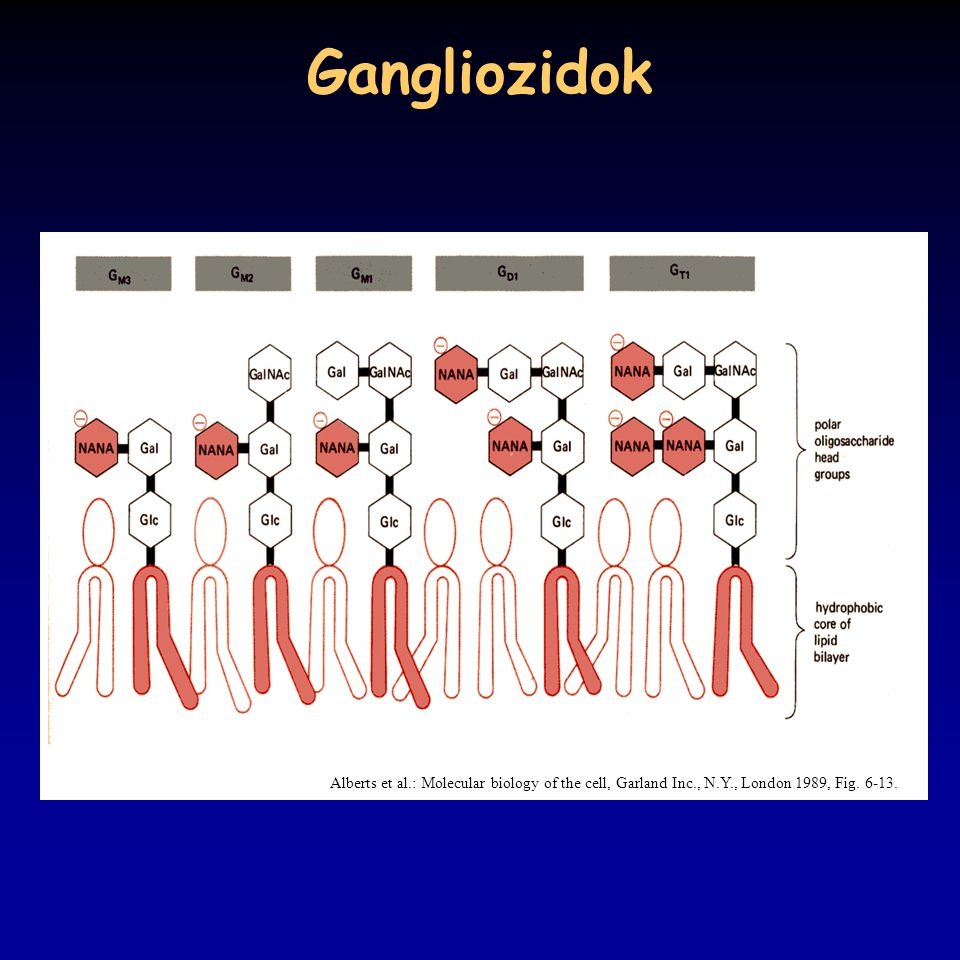 Gangliozidok Alberts et al.: Molecular biology of the cell, Garland Inc., N.Y., London 1989, Fig.