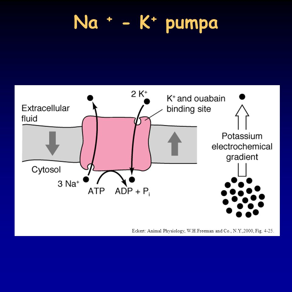 Na + - K+ pumpa Eckert: Animal Physiology, W.H.Freeman and Co., N.Y.,2000, Fig. 4-25.