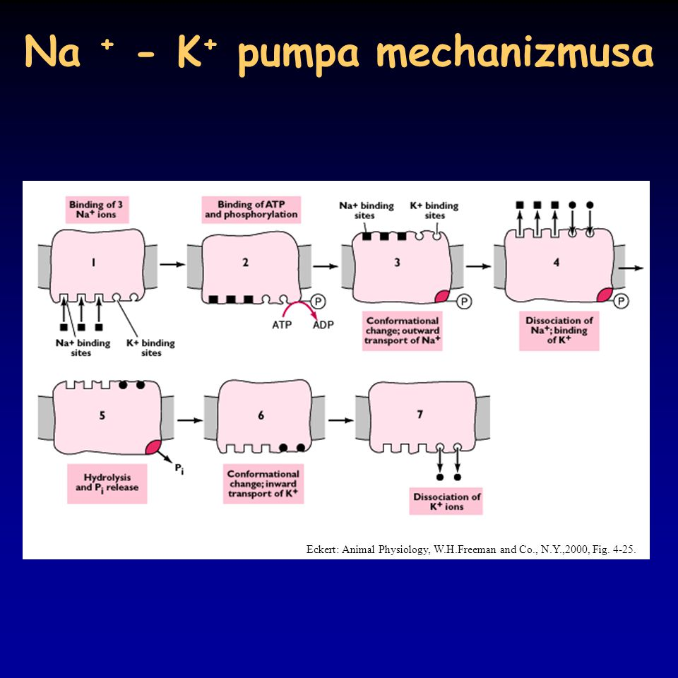 Na + - K+ pumpa mechanizmusa