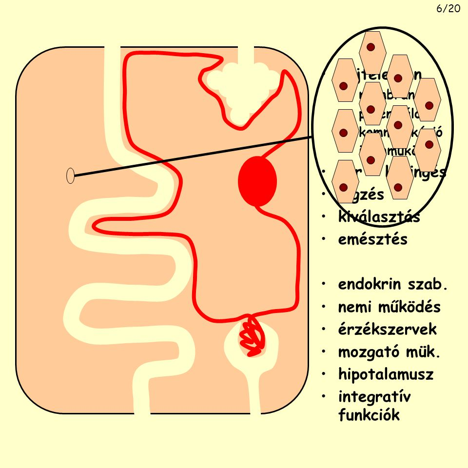 sejtélettan vér + keringés légzés kiválasztás emésztés endokrin szab.
