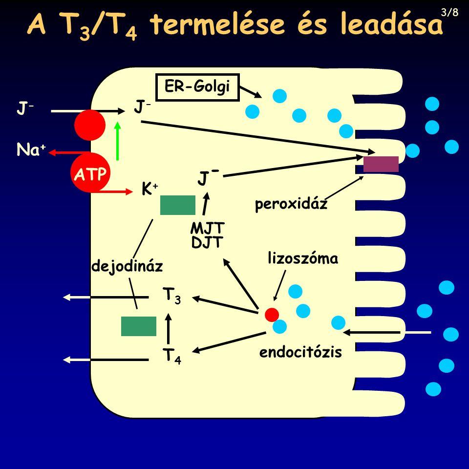 A T3/T4 termelése és leadása