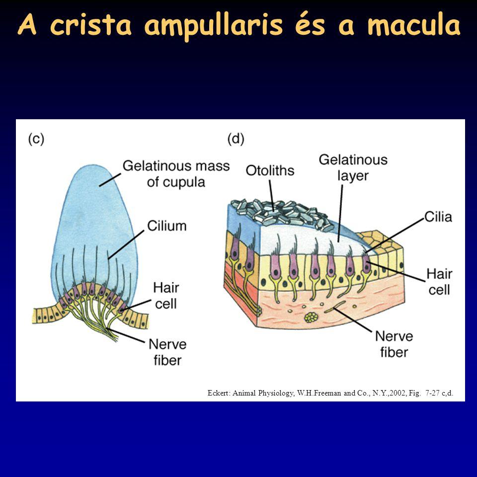 A crista ampullaris és a macula
