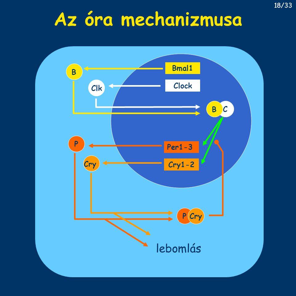 Az óra mechanizmusa lebomlás B Bmal1 Clk Clock C B P Per1-3 Cry Cry1-2