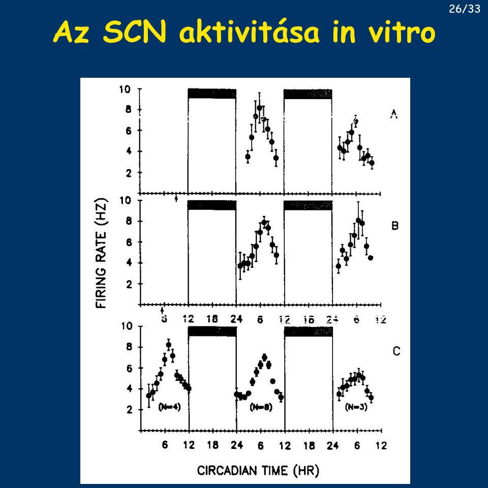 Az SCN aktivitása in vitro