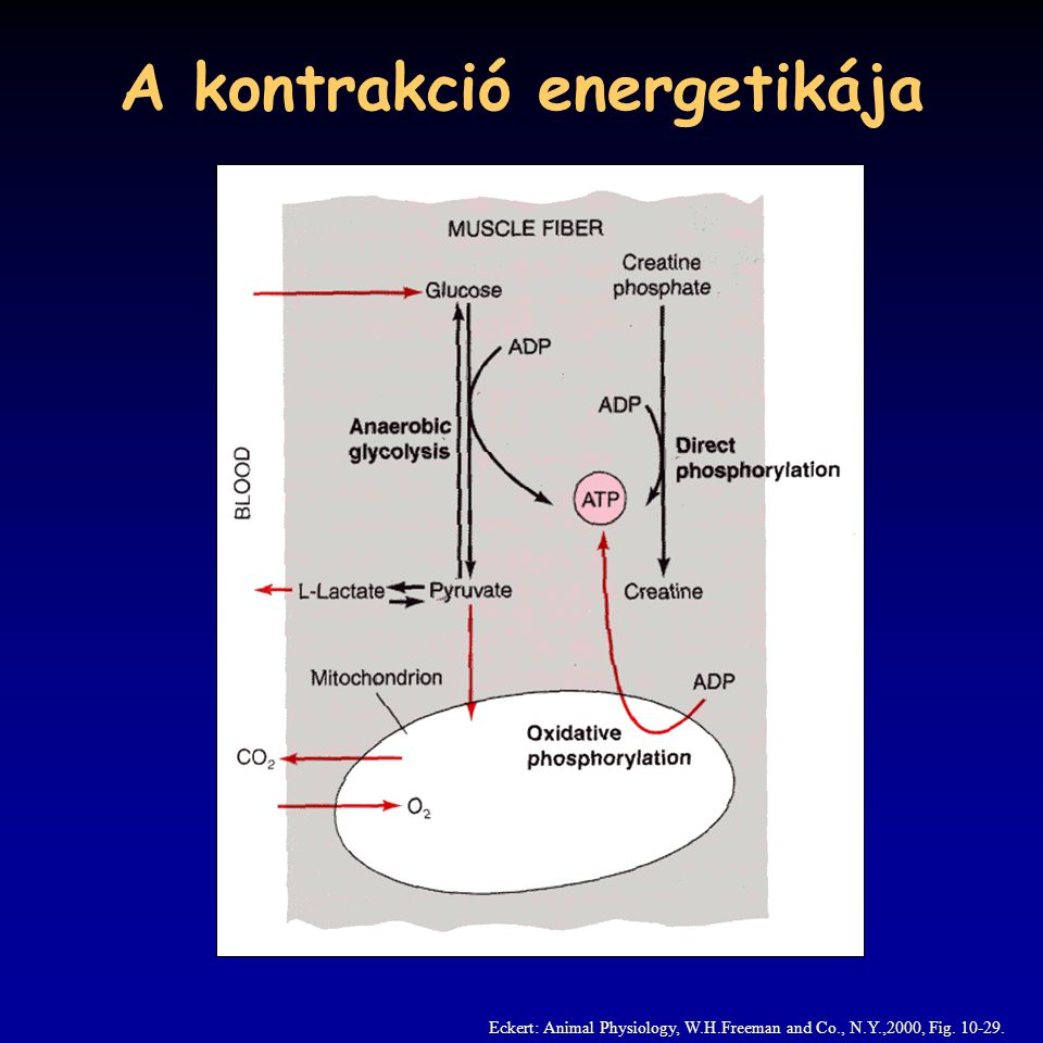 A kontrakció energetikája