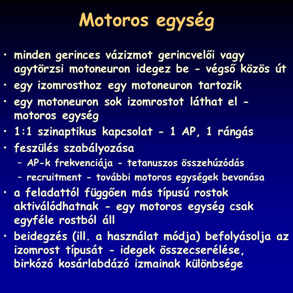 Motoros egység minden gerinces vázizmot gerincvelői vagy agytörzsi motoneuron idegez be - végső közös út.