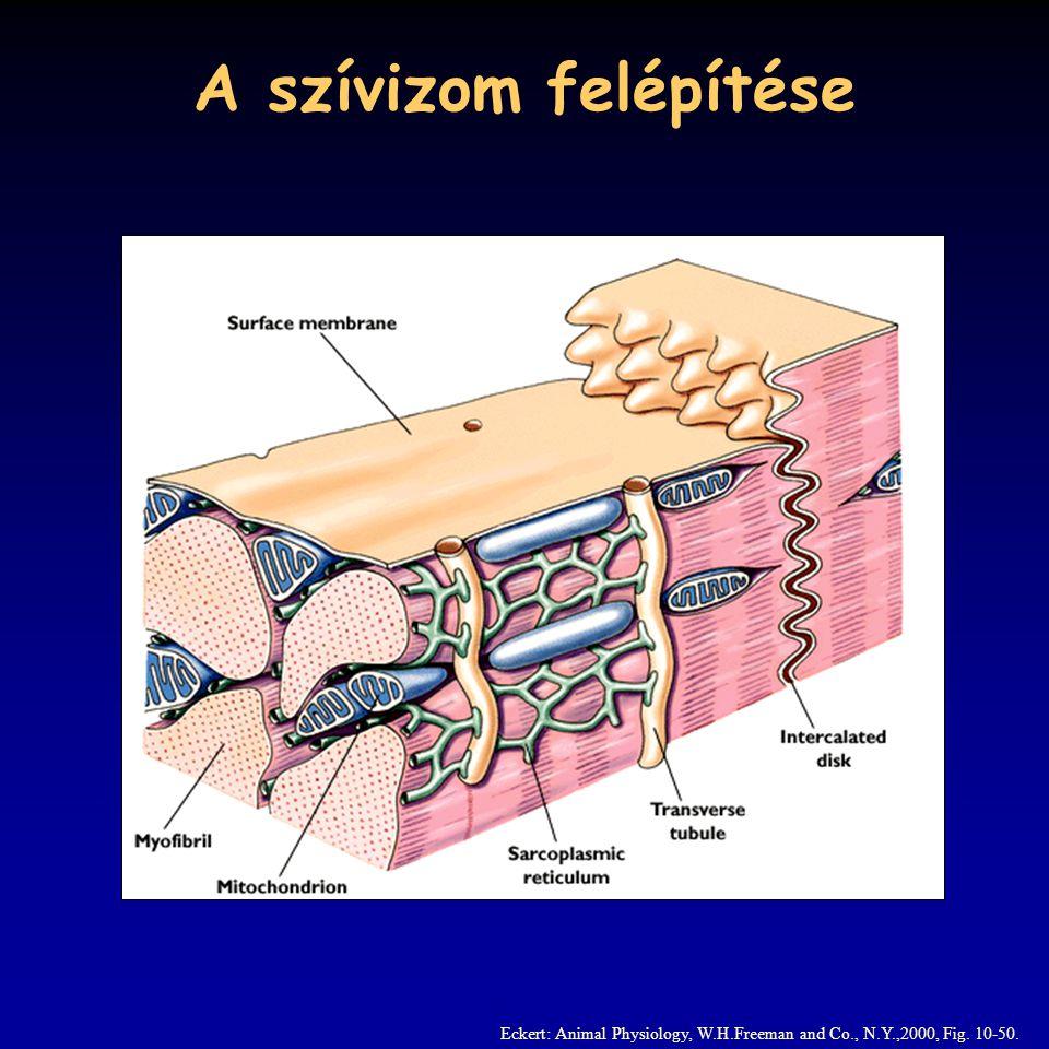 A szívizom felépítése Eckert: Animal Physiology, W.H.Freeman and Co., N.Y.,2000, Fig. 10-50.