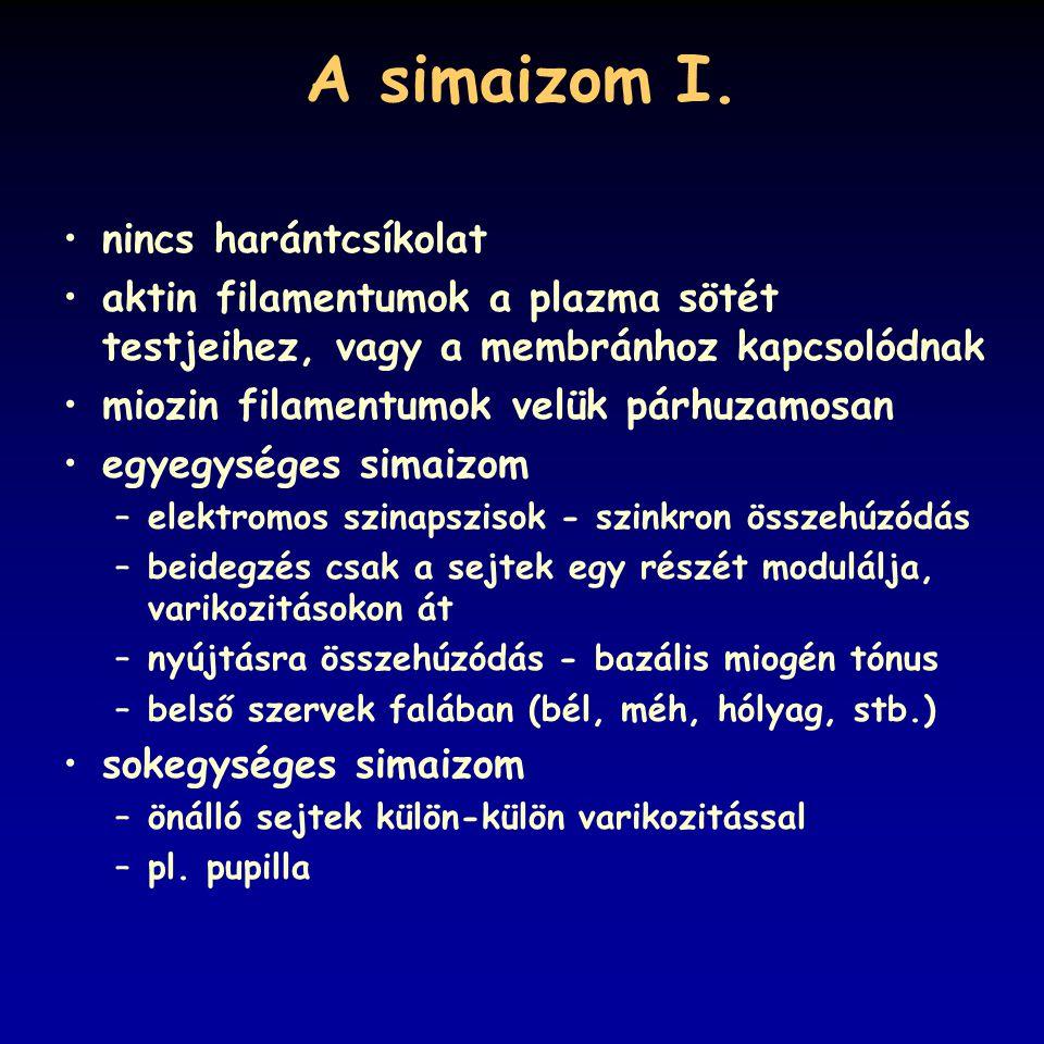 A simaizom I. nincs harántcsíkolat