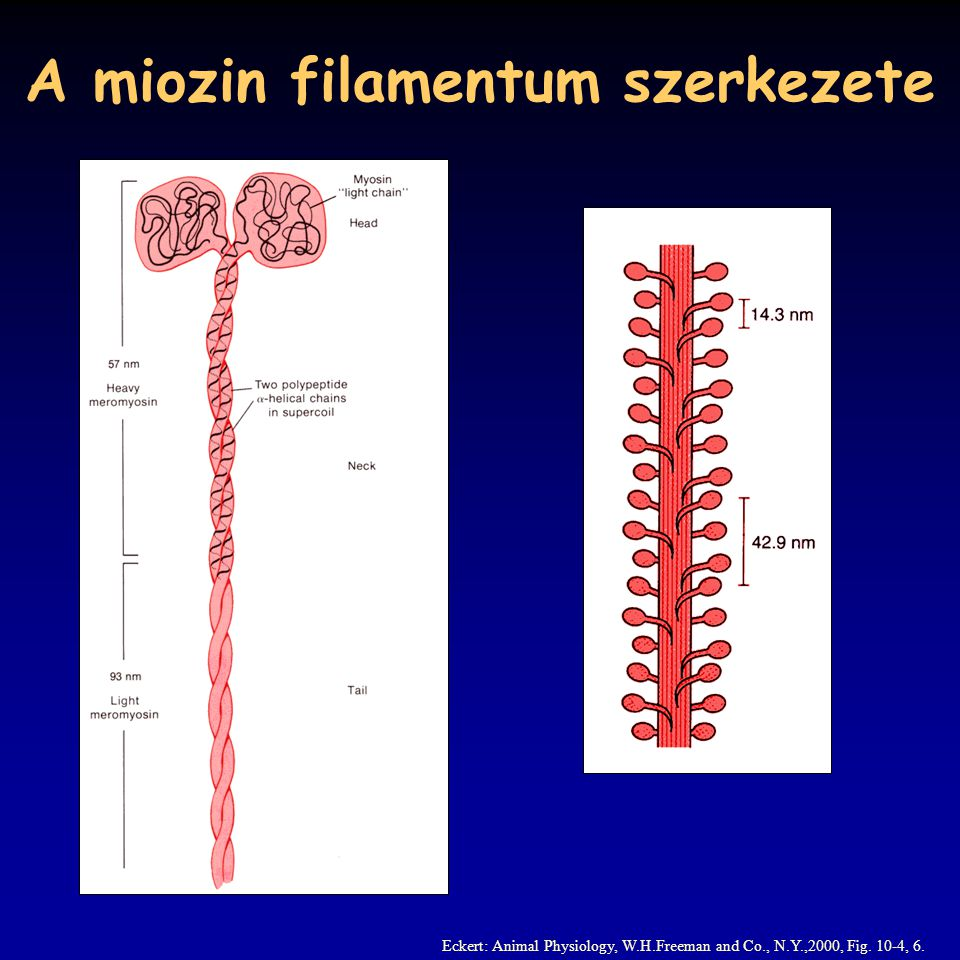 A miozin filamentum szerkezete