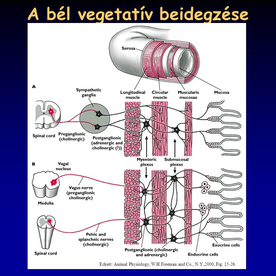 A bél vegetatív beidegzése