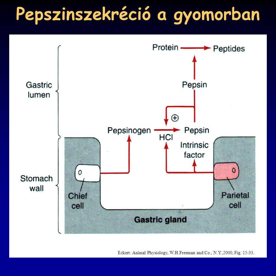 Pepszinszekréció a gyomorban