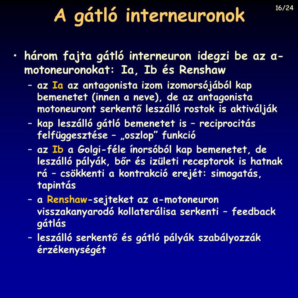 A gátló interneuronok 16/24. három fajta gátló interneuron idegzi be az α-motoneuronokat: Ia, Ib és Renshaw.