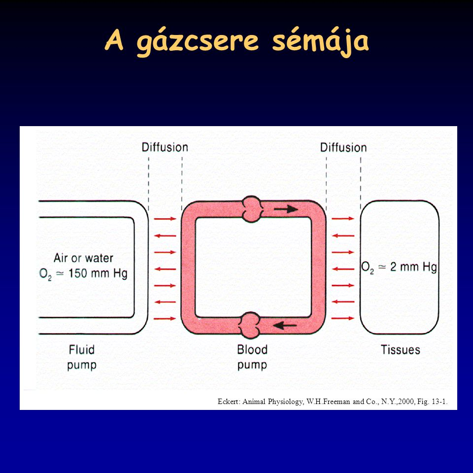 A gázcsere sémája Eckert: Animal Physiology, W.H.Freeman and Co., N.Y.,2000, Fig