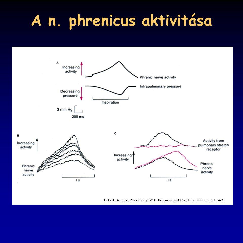 A n. phrenicus aktivitása