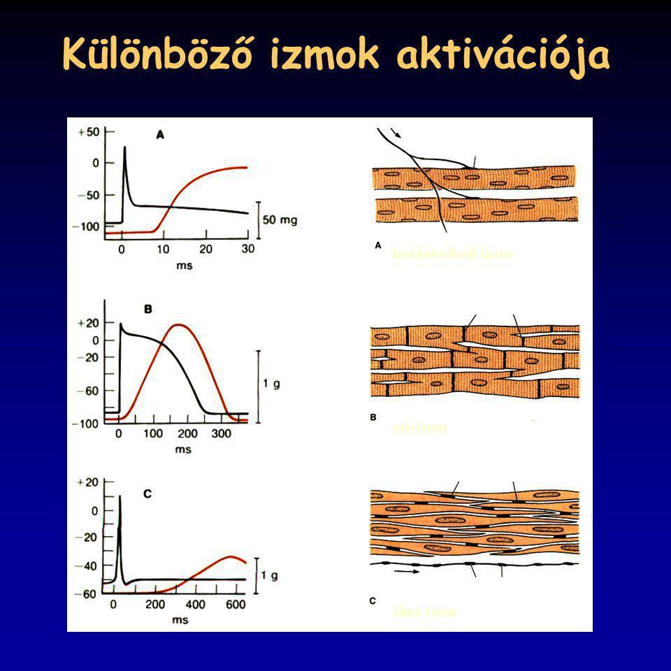 Különböző izmok aktivációja