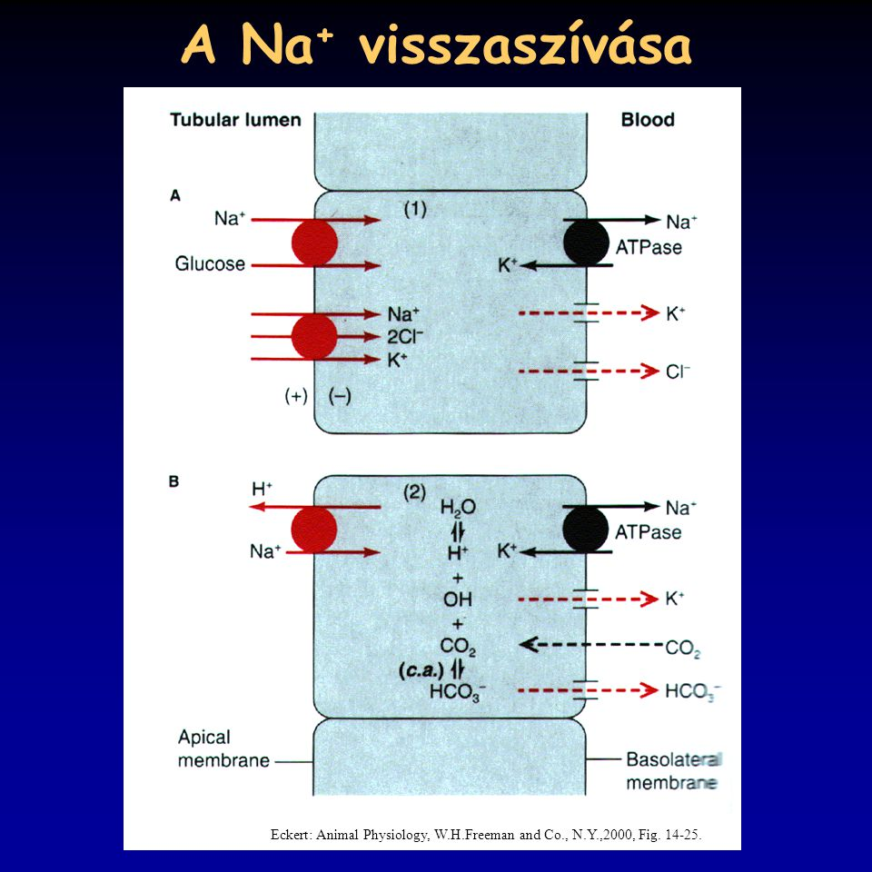 A Na+ visszaszívása Eckert: Animal Physiology, W.H.Freeman and Co., N.Y.,2000, Fig. 14-25.