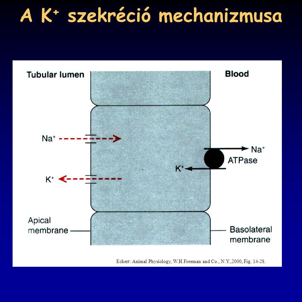 A K+ szekréció mechanizmusa