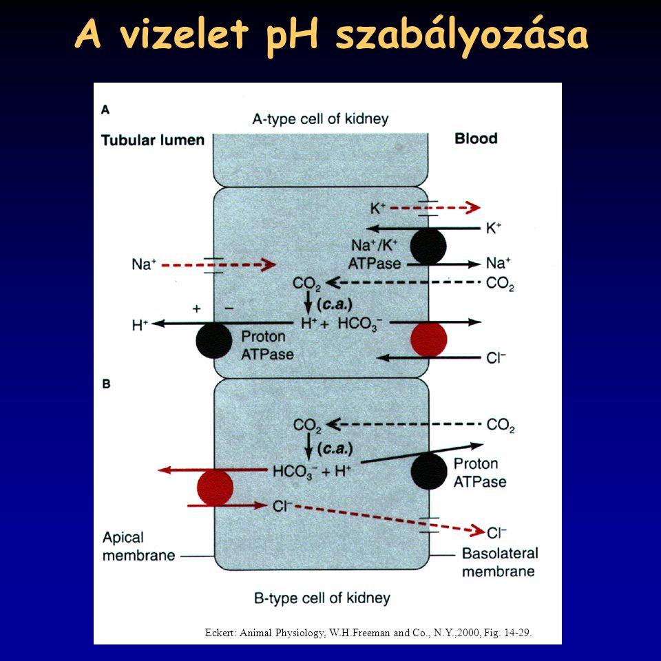 A vizelet pH szabályozása