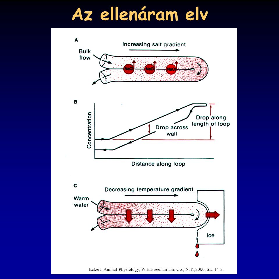 Az ellenáram elv Eckert: Animal Physiology, W.H.Freeman and Co., N.Y.,2000, SL. 14-2.