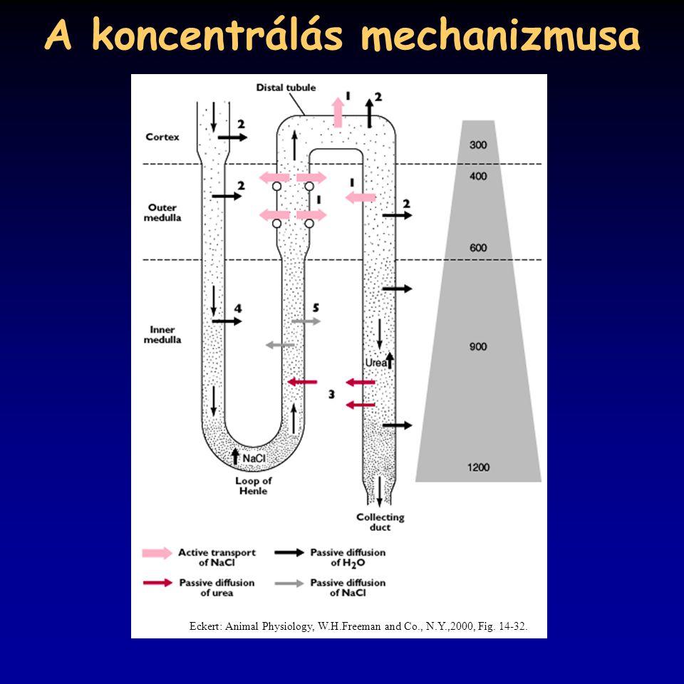 A koncentrálás mechanizmusa