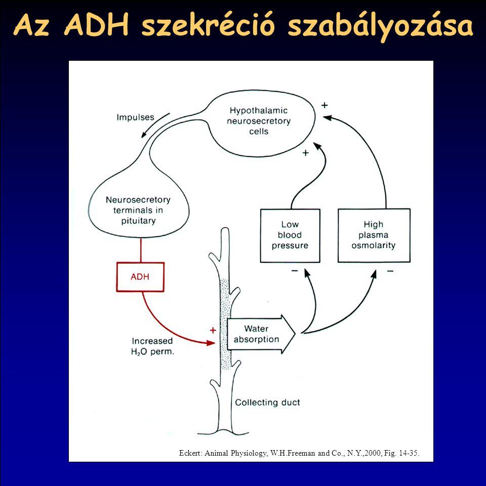 Az ADH szekréció szabályozása