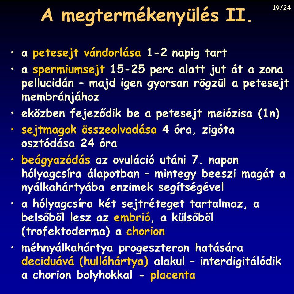 A megtermékenyülés II. a petesejt vándorlása 1-2 napig tart