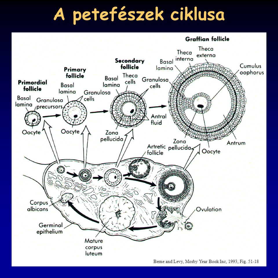 A petefészek ciklusa Berne and Levy, Mosby Year Book Inc, 1993, Fig. 51-18