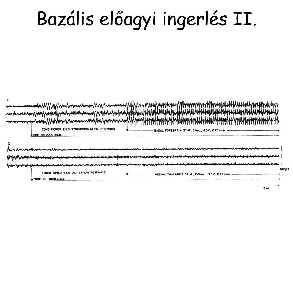 Bazális előagyi ingerlés II.