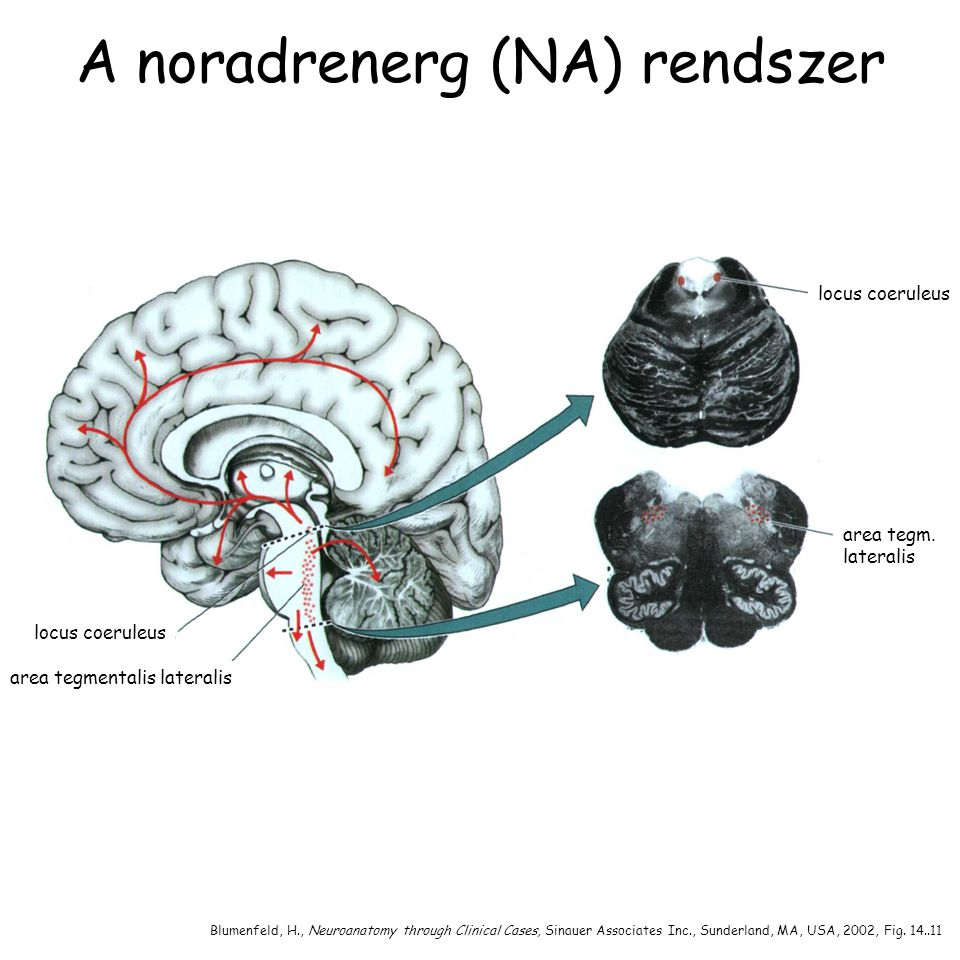 A noradrenerg (NA) rendszer