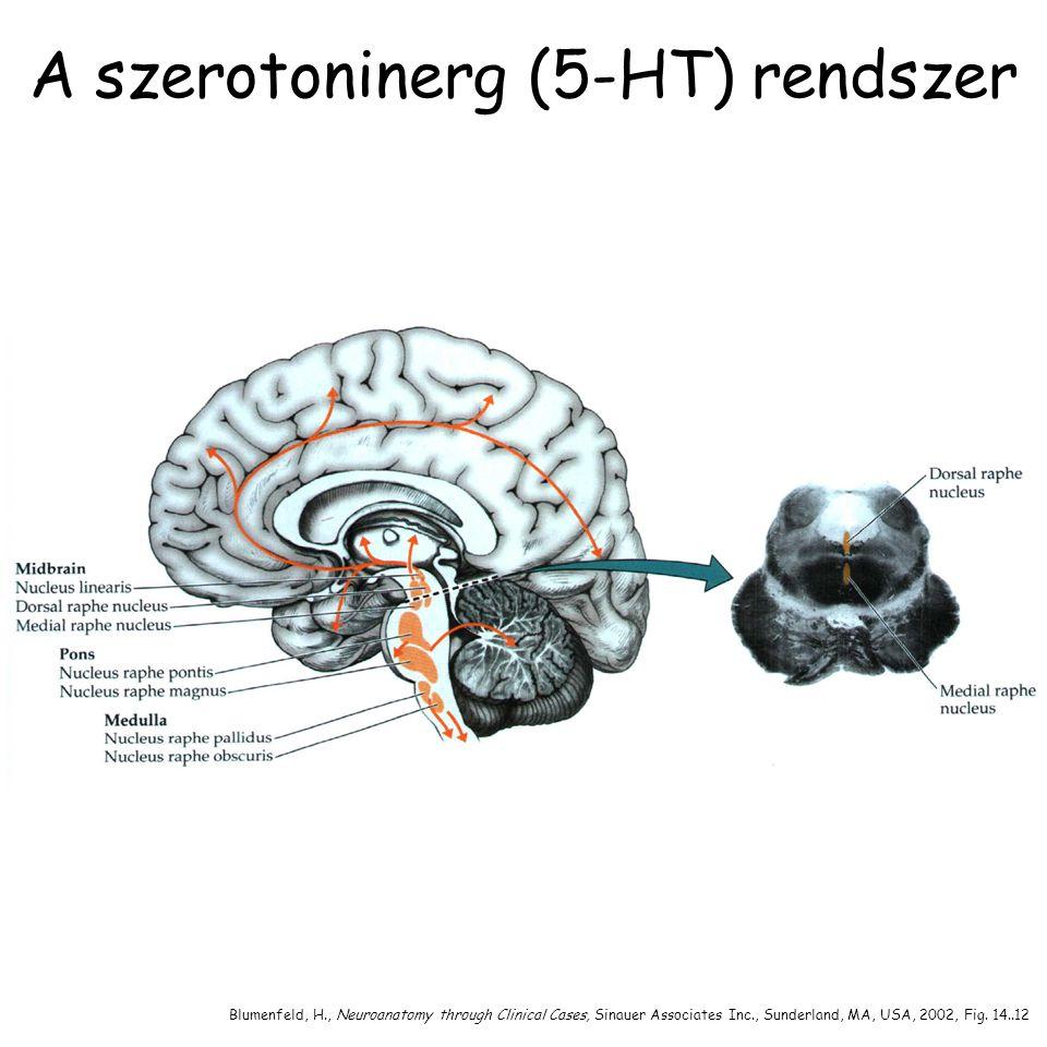 A szerotoninerg (5-HT) rendszer