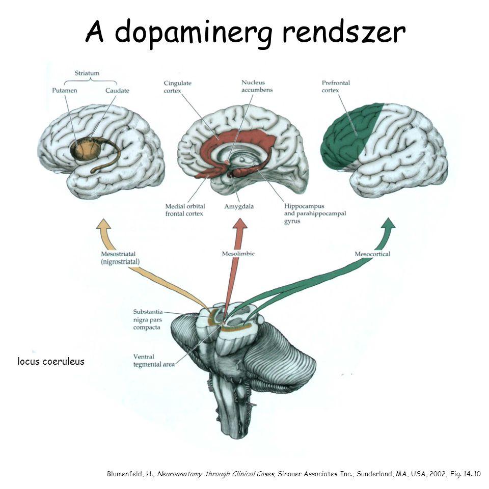 A dopaminerg rendszer locus coeruleus