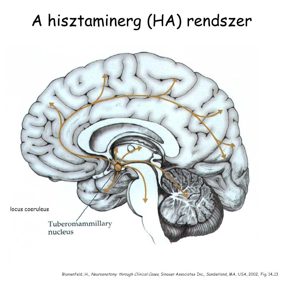 A hisztaminerg (HA) rendszer