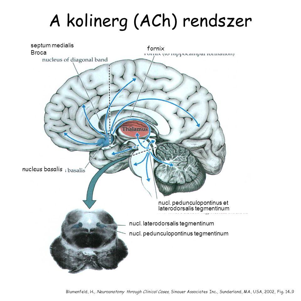 A kolinerg (ACh) rendszer